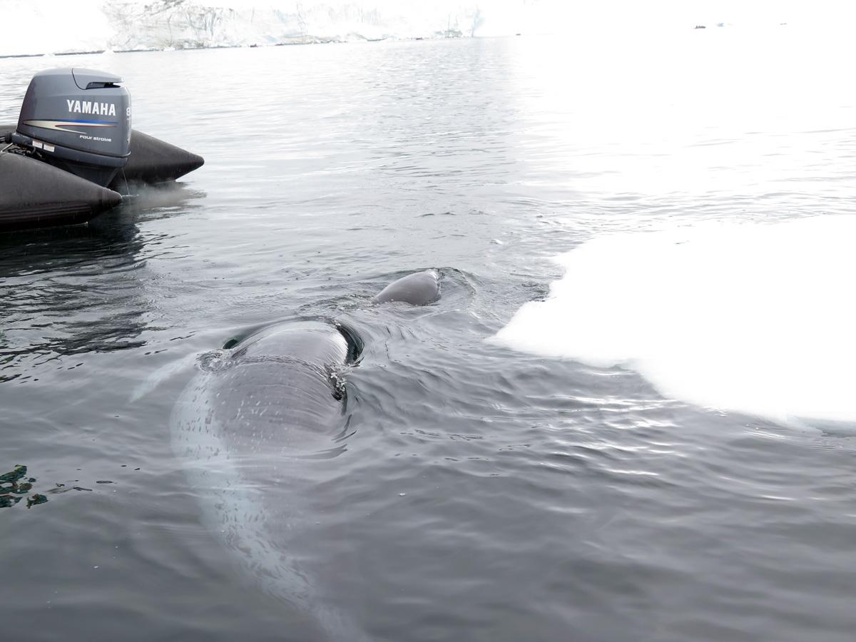 Antarctica: Ocean Wildlife